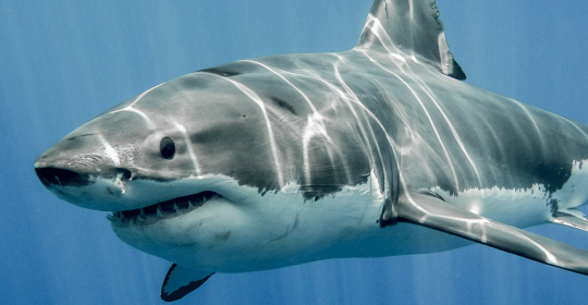 Parkinson's Disease could be treated with shark extract